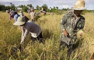 Riso, contro lo tsunami Cambogia subito la clausola di salvaguardia