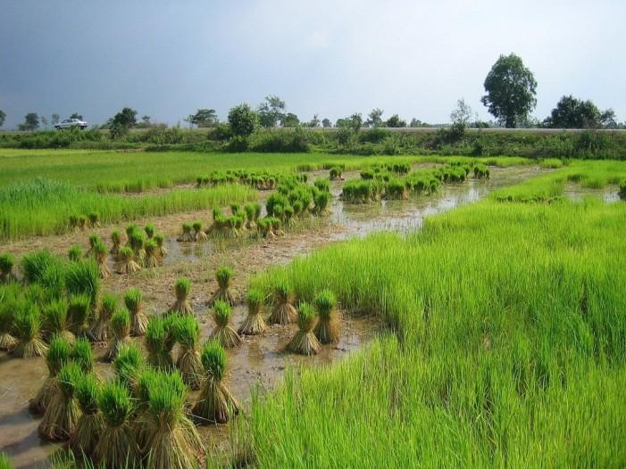 Riso, la Cambogia rassicura ma non convince