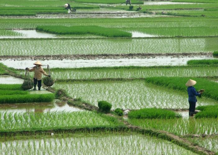 La truffa del riso cambogiano: in Europa anche prodotto di altri Paesi