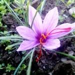 Crocus sativus[1]