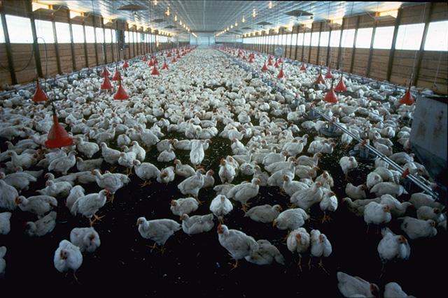 C'è un pollo nel nostro futuro
