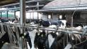 Prezzo del latte alla stalla in Piemonte, il Tavolo scotta