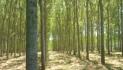 Un pioppo in più per salvare l'ambiente e ridurre l'uso di fitofarmaci
