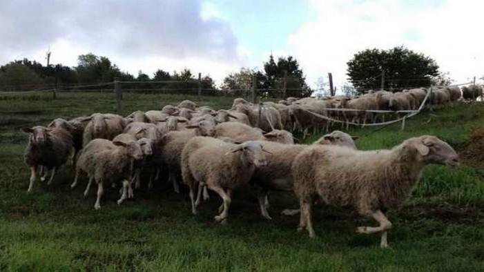Arieti cercansi per le pecore di Langa