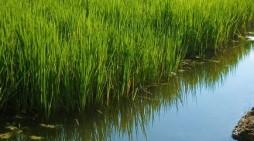 Focus sulla risaia risparmiosa