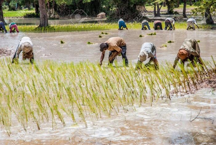 Carrà: per bloccare il riso cambogiano basta modificare il regolamento Ue