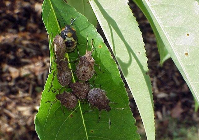 Lotta biologica: insetto cercasi per combattere cimice cinese