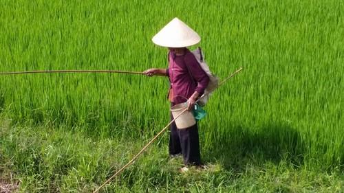 Carrà sollecita l'Antifrode Ue sul contrabbando di riso vietnamita