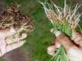 Contro il nematode galligeno in Piemonte 214 mila euro di risarcimento