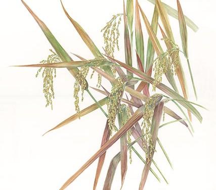 Con gli acquerelli sul riso vince l'oro alle Olimpiadi della pittura botanica (photogallery)