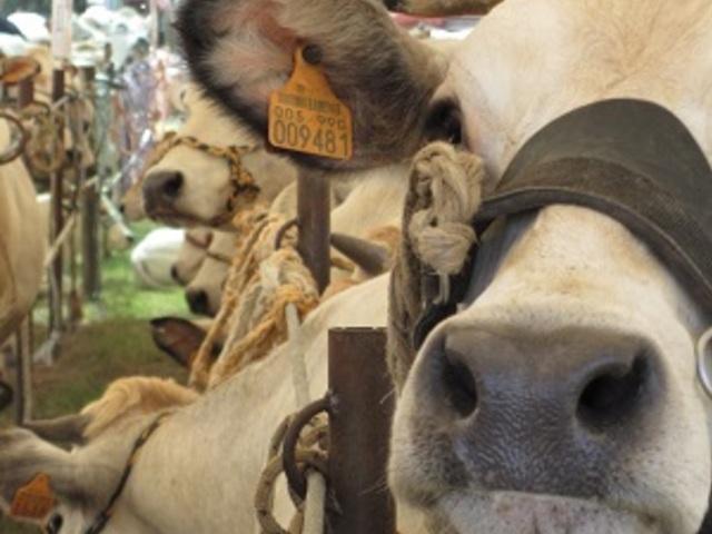 La Fiera della Piemontese tra Moscato e Barbera