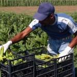 AZIENDA AGRICOLA ' LA BAGNARA ' ZUCCHINE BIOLOGICHE RACCOLTA AGRICOLTURA BIOLOGICA LAVORATORE AGRICOLO CONTADINO EXTRACOMUNITARIO