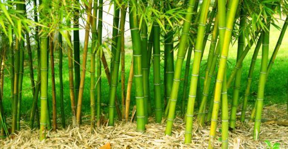 Bamboo, l'erba gigante che rende dopo cinque anni