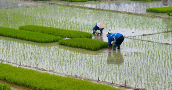 """""""Basta con il riso insanguinato"""". Ue verso blocco import da Myanmar e Cambogia"""