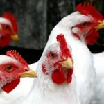 influenza-aviaria