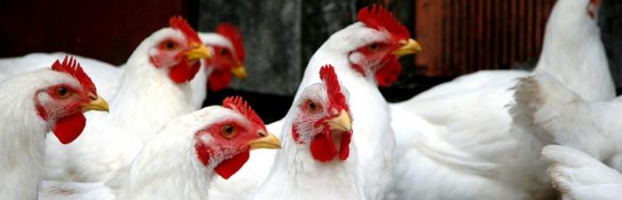 Influenza aviaria: Piemonte tra le regioni ad alto rischio