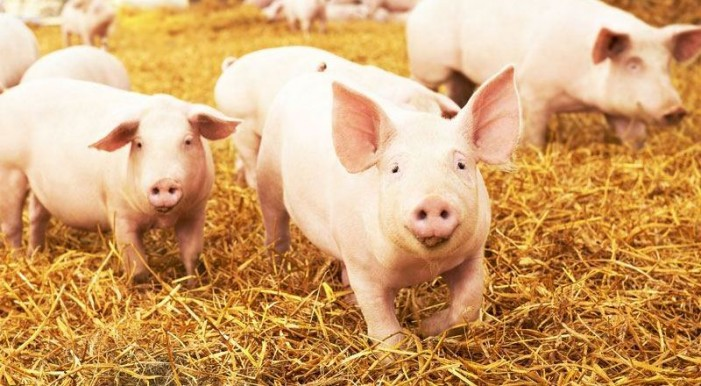 Per il maiale più dignità e tutela con la Classyfarm