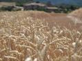 Tutto di grano italiano il biscotto Oro Saiwa