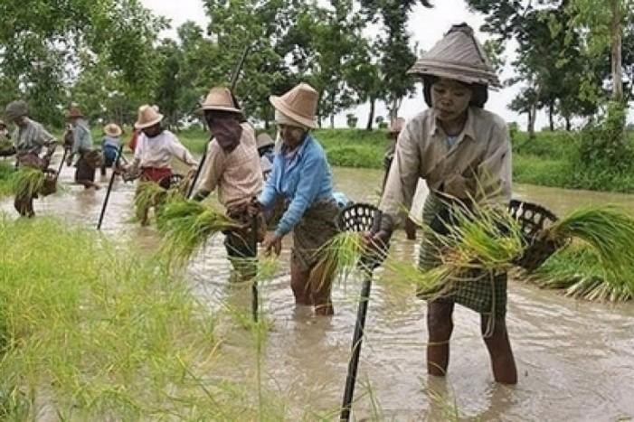 """""""Altolà al risotto birmano"""". Carrà si appella alla Commissione Ue"""