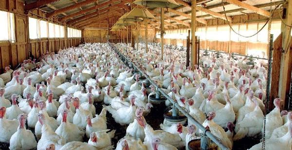 Le case dei polli? Saranno allevamenti come cliniche