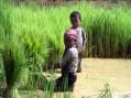 Diritti umani violati. L'Ue avvisa la Cambogia: possibile stop al riso agevolato