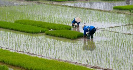 La Commissione dice no al dazio sul riso cambogiano. La risaia italiana insorge