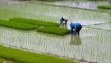 Meno Indica dal Sudest asiatico, ma sempre più Japonica dal Myanmar