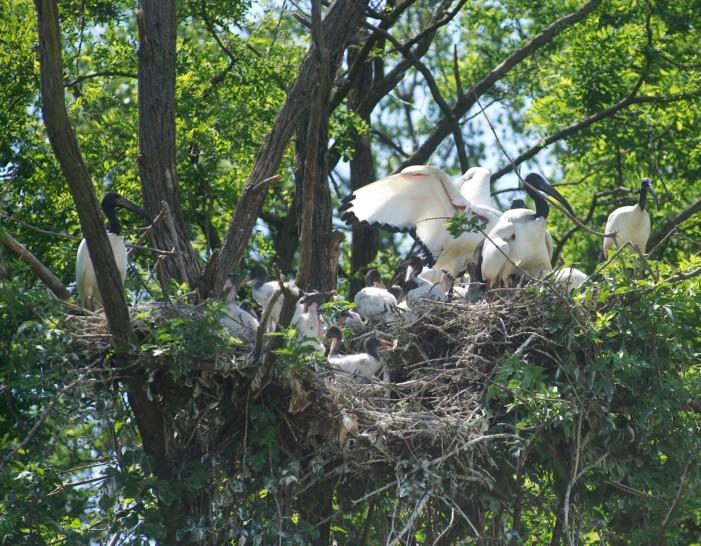 Gli ibis sacri del Nilo hanno messo su casa in risaia