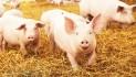 Effetto Covid-19: su i consumi di carni suine, -38% il fatturato degli allevatori