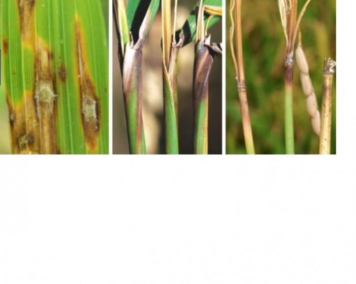 Brusone in risaia, confermato il rischio uno
