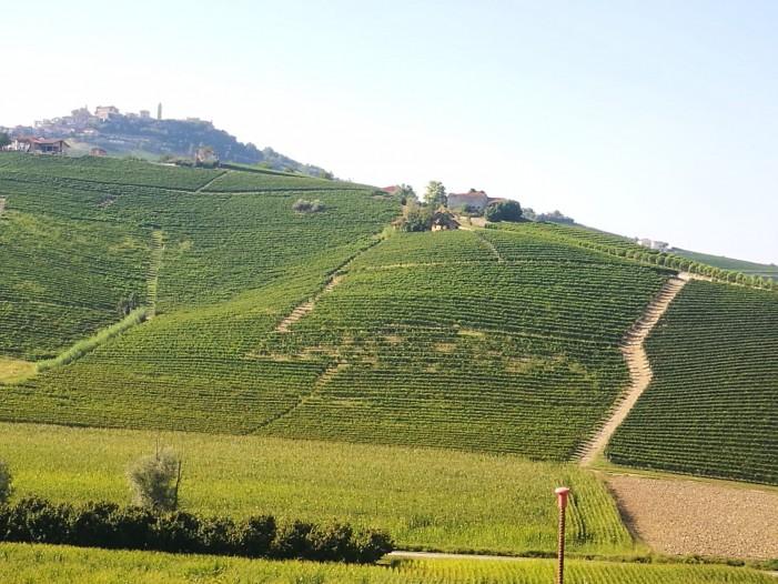 Vendemmia al via: ottimo il vigneto Piemonte