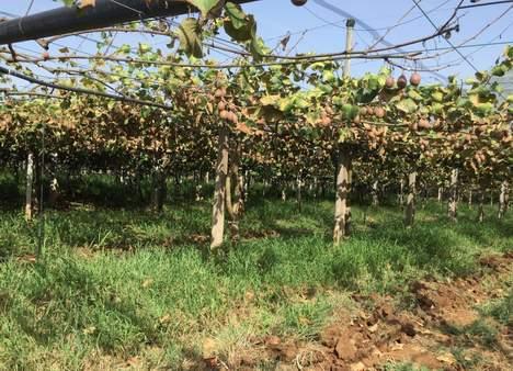 Il Piemonte guida la task force contro la moria del kiwi