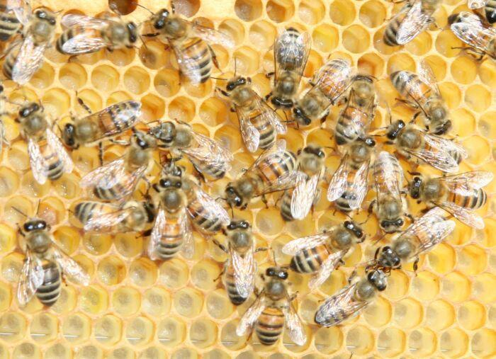 Piemonte capitale del miele: 5 mila tonnellate, 30% della produzione italiana
