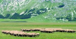 Campo Imperatore (L'Aquila, Abruzzi, Italy) - Landscape at summer in the Gran Sasso d'Italia Natural Park. Sheeps