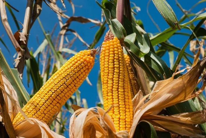 C'è fame di granoturco, l'Italia deficitaria