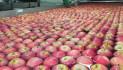 Taricco: l'India blocca le nostre mele, serve intervento urgente