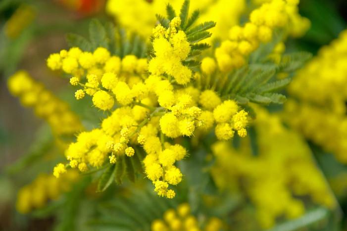 L'8 marzo rilancia la mimosa e conquista il mercato russo