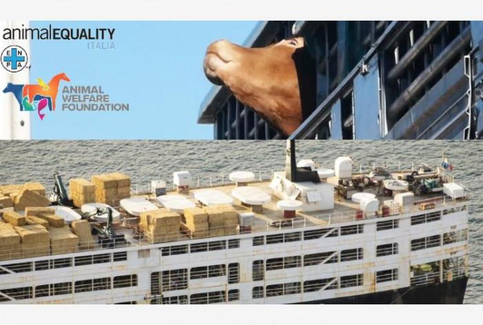 L'odissea dei 1700 vitelli sulla nave che nessuno vuole