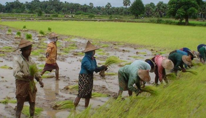 """Coldiretti all'Ue: """"Stop agevolazioni al riso birmano"""""""