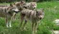 Finanziamenti agli allevatori per difendersi dai lupi